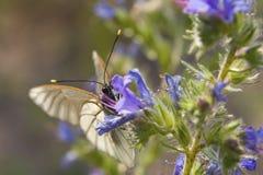 De vlinder op een bloem met nieuwsgierigheid bekijkt u Royalty-vrije Stock Afbeeldingen