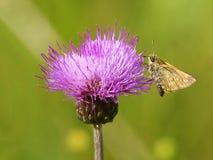 De vlinder op een distel Stock Foto's