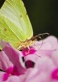 De vlinder op een flox. Macro. Stock Foto