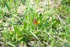 De vlinder is oranje met zwarte punten zittend op groene gras en paardebloemen Stock Foto