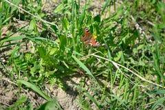 De vlinder is oranje met zwarte punten zittend op groene gras en paardebloemen Stock Fotografie