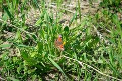 De vlinder is oranje met zwarte punten zittend op groene gras en paardebloemen Royalty-vrije Stock Foto