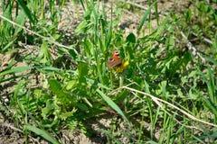 De vlinder is oranje met zwarte punten zittend op groene gras en paardebloemen Stock Foto's