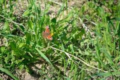 De vlinder is oranje met zwarte punten zittend op groene gras en paardebloemen Royalty-vrije Stock Afbeelding