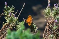 De vlinder over de lavendel stock foto's