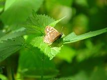 De vlinder rust en pronkt met zijn beste kant stock afbeelding