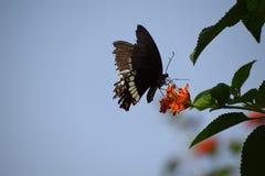 De vlinder slaat op en neer zijn vleugels royalty-vrije stock foto