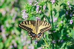 De vlinder swallowtail zit met open vleugels op de bloem stock fotografie