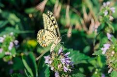 De vlinder swallowtail zit met open vleugels op de bloem stock afbeeldingen