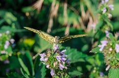 De vlinder swallowtail zit met open vleugels op de bloem stock afbeelding