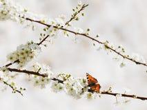 De vlinder van Aglais op de lentebloemen Royalty-vrije Stock Foto
