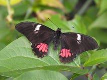 De vlinder van Anchisiadesswallowtail Royalty-vrije Stock Fotografie
