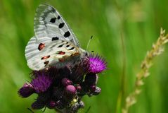 De vlinder van Apollo Royalty-vrije Stock Foto