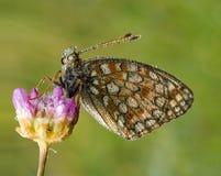 De Vlinder van Argynnis niobe (Niobe Fritillary) Stock Afbeelding