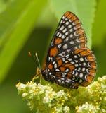 De Vlinder van Baltimore Checkerspot Stock Afbeeldingen