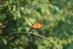 De vlinder van Bangladesh Stock Afbeeldingen
