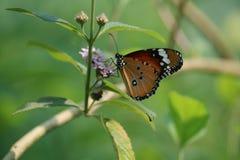 De vlinder van Bangladesh Stock Afbeelding