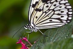 De vlinder van Beautifull op een blad Stock Fotografie