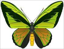 De vlinder van Birdwing van de kolos Royalty-vrije Stock Fotografie
