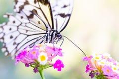 De vlinder van de boomnimf op roze bloem Royalty-vrije Stock Foto