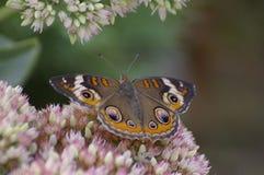 De vlinder van Buckeye Royalty-vrije Stock Foto