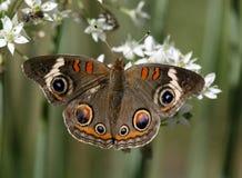 De vlinder van Buckeye royalty-vrije stock fotografie