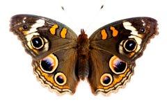 De Vlinder van Buckeye Stock Foto's