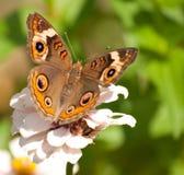 De vlinder van Buckeye Stock Foto