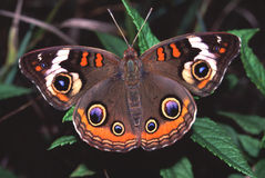 De Vlinder van Buckeye (coenia Junonia) Stock Fotografie