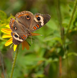 De vlinder van Buckeye op zwart-Eyed Susan Royalty-vrije Stock Foto's