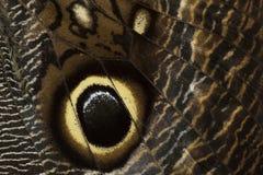 De vlinder van Caligo Royalty-vrije Stock Foto