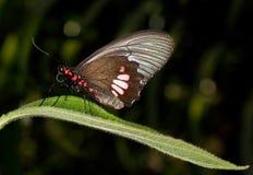 De vlinder van Cattleheart - Parides anchises stock afbeeldingen