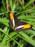 De vlinder van de Celeriozuster op gras met open vleugels Stock Afbeeldingen