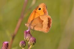 De vlinder van Coenonymphapamphilus Royalty-vrije Stock Afbeelding
