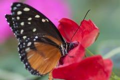 De vlinder van Danauschrysippus, die bij een bloem eten Stock Fotografie