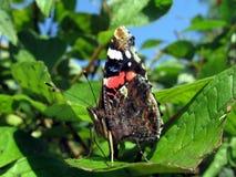 De vlinder van de admiraal op blad Stock Afbeelding