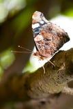 De vlinder van de admiraalvlinder Royalty-vrije Stock Foto's