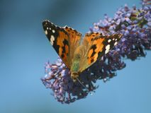 De Vlinder van de admiraalvlinder royalty-vrije stock foto