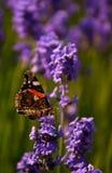De vlinder van de admiraalvlinder op lavendel dichte omhooggaand Royalty-vrije Stock Fotografie
