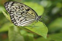 De Vlinder van de boomnimf. Royalty-vrije Stock Fotografie