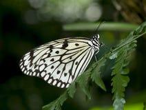 De Vlinder van de boomnimf. Royalty-vrije Stock Afbeelding