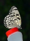 De Vlinder van de boomnimf. Stock Afbeelding