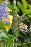 De vlinder van de boomnimf bij zijn lijst in de tuinen Stock Foto