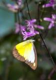 De vlinder van de chocoladealbatros in een tuin stock afbeeldingen