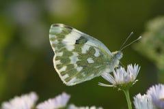 De vlinder van de dag Stock Afbeeldingen