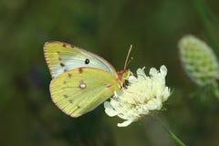 De vlinder van de dag (Colias hyale) royalty-vrije stock foto's