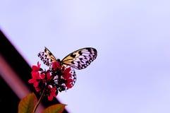De vlinder van de de Boomnimf van Ceylon (Ideeiasonia) Royalty-vrije Stock Foto's