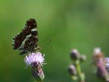 De vlinder van de de zomerkaart Stock Afbeelding