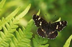 De Vlinder van de kaart Royalty-vrije Stock Afbeeldingen