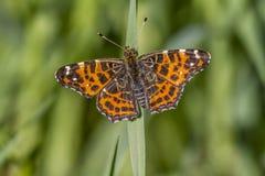 De vlinder van de kaart (levana Araschnia) Royalty-vrije Stock Fotografie